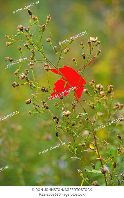 Red maple (Acer rubrum) leaf and aster flowers, Greater Sudbury, Ontario, Canada
