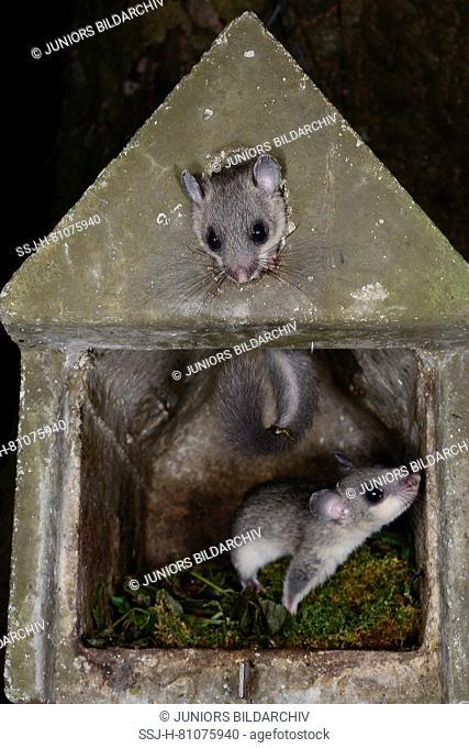 Edible Dormouse (Glis glis). Two juveniles climbing in a nesting box. Germany