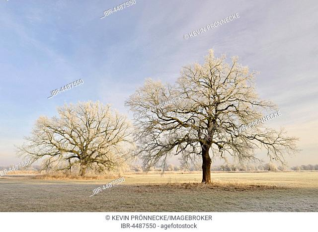 Solitary oak trees with hoarfrost, English oak (Quercus robur), Elbaue, Middle Elbe Biosphere Reserve, Saxony-Anhalt, Germany
