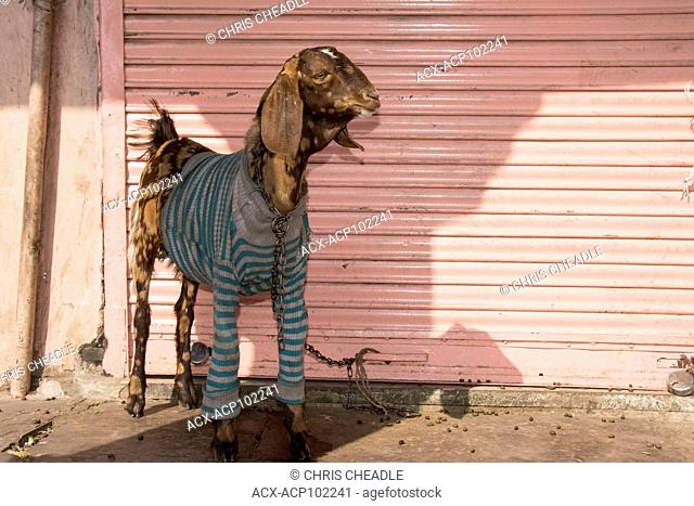Goat with sweater in the Pink City, Jaipur, Rajastan, India