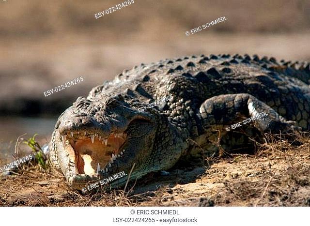 Crocodile baring teeth close up
