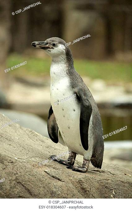 A Humboldt Penguin in a zoo