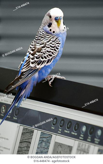 Parrot resting on a laptop screen