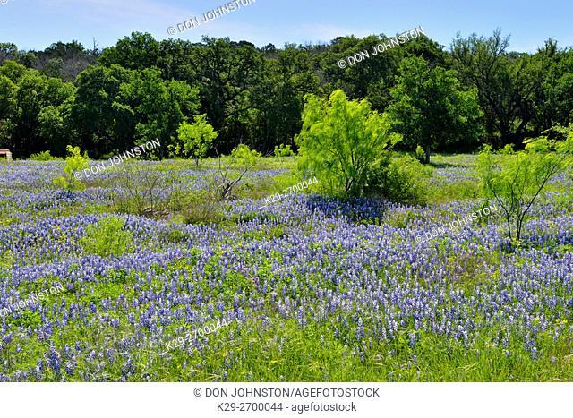 Oak trees and flowering bluebonnets, Burnet County, Texas, USA