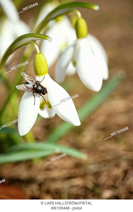 Fly sitting on Common Snowdrop Galanthus nivalis, Sweden