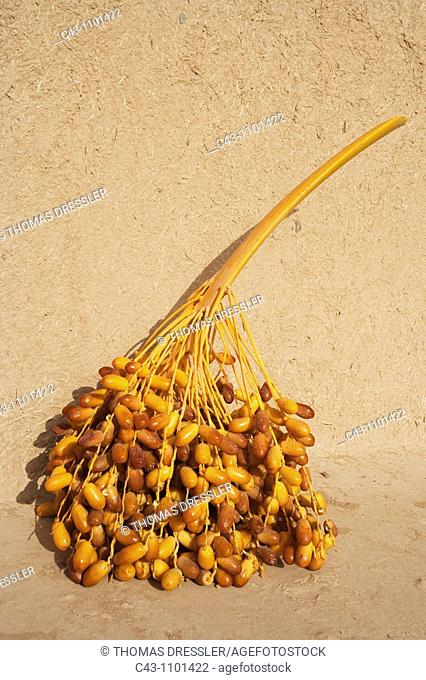 Morocco - A stalk with dates during the date harvest in October in the palmeries of Erfoud  Southeast Morocco