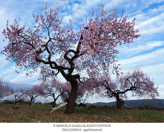 Almond trees in blossom at Godall Village countryside. Montsia Region, Tarragona Province, Catalonia, Spain
