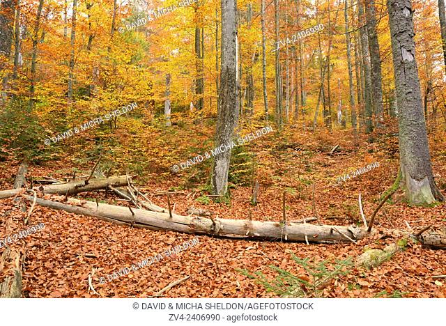 Landscape of a European beech or common beech (Fagus sylvatica) forest in autumn in the Bavarian forest, Germany