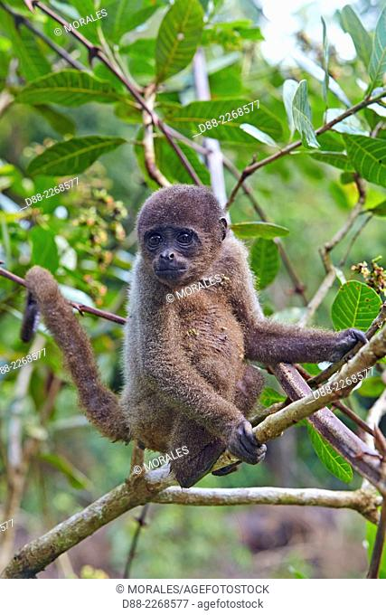South America,Brazil,Amazonas state,Manaus,Amazon river basin,Brown woolly monkey,Common woolly monkey (Lagothrix lagotricha),young baby