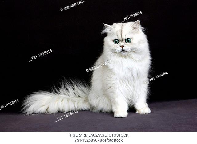 CHINCHILLA PERSIAN CAT, ADULT WITH GREEN EYES