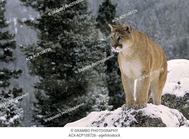 Cougar, Puma concolor, on rocky ledge in winter, Montana, USA
