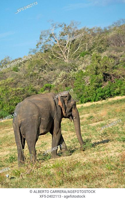 Sri Lankan Elephant, Elephas maximus maximus, Wilpattu National Park, Sri Lanka, Asia