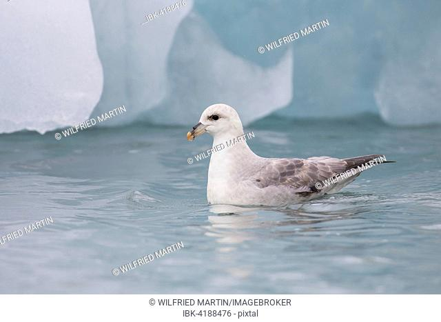 Northern Fulmar (Fulmaris glacialis), swimming, Spitsbergen, Norway