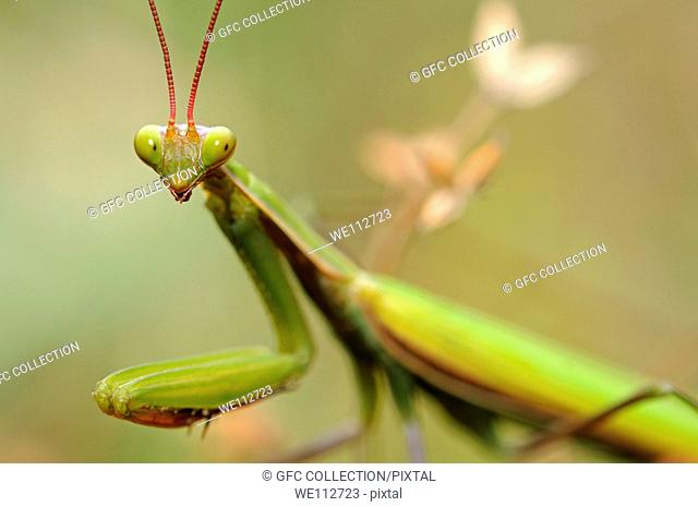 European Mantis or Praying mantis Mantis religiosa, Alsace, France