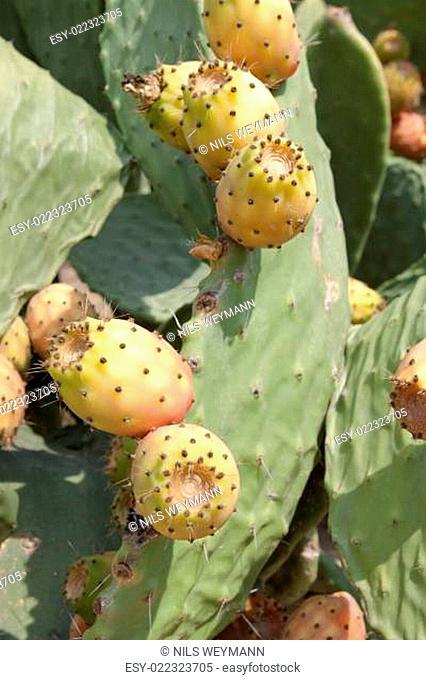 frische leckere Kaktusfeigen am Kaktusblatt mit blauem himmel im