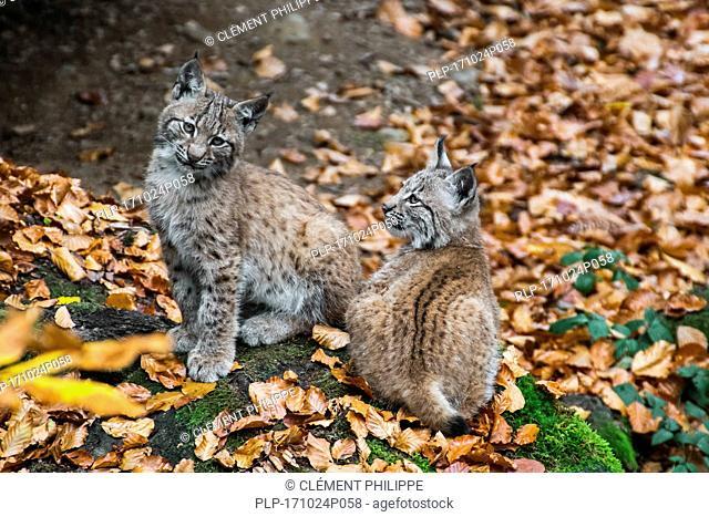 Two 2 month old Eurasian lynx (Lynx lynx) kittens sitting near den in autumn forest
