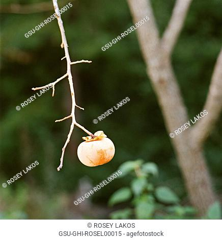 Persimmon Hanging on Branch