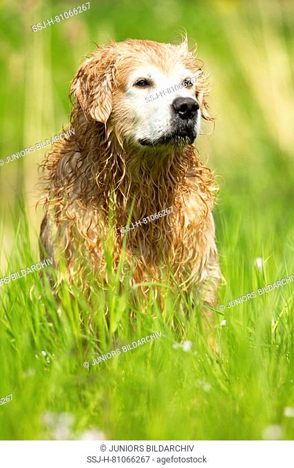 Old Golden Retriever after a dive in water, all wet and looking right. Netherlands