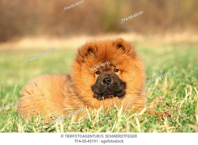 Chow Chow Puppy in autumn