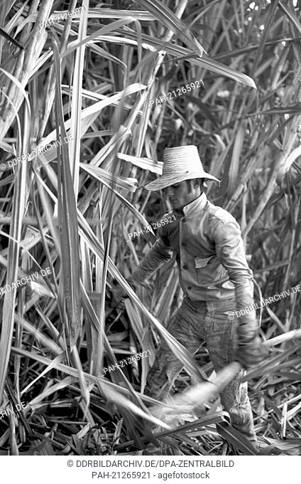 Harvesting sugar cane - the so-called Zafra - is still mainly done in a traditional way in Cuba.A worker cuts the sugar cane with a machete in the Cuban...