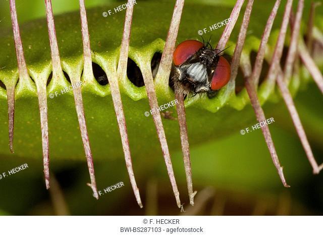 Venus Flytrap, Venus's Flytrap, Venus' Flytrap, Venus Fly Trap, Venus's Fly Trap, Venus' Fly Trap, Fly-Trap (Dionaea muscipula)