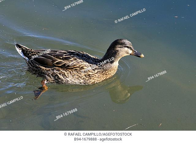 Female of the Mallard or wild duck Anas platyrhynchos, dabbling duck which breeds throughout the temperate and subtropical Americas, Europe, Asia