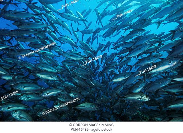 A school of big-eye trevally Caranx sexfasciatus By day this species gathers together in large tightly packed schools often holding their place in the tide flow...