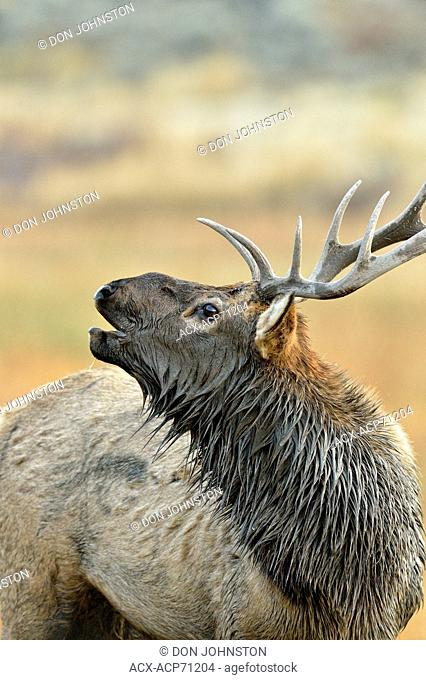 Elk (Cervus elaphus) Stag exhibiting rutting behaviour, Yellowstone NP, Wyoming, USA