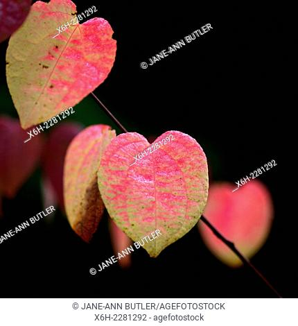 distinctive Katsura heart shaped leaf in Autumn