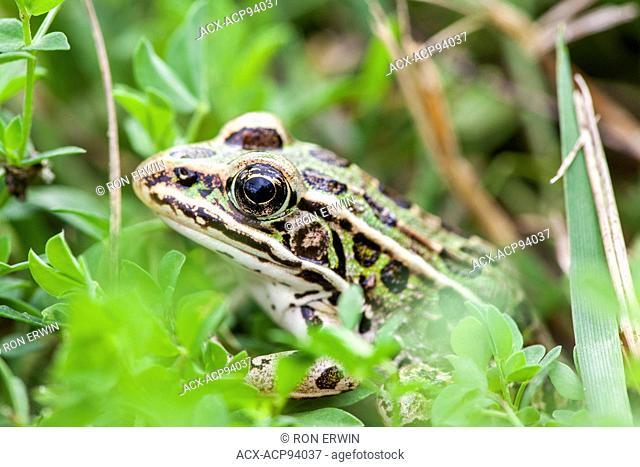 Northern Leopard Frog (Rana pipiens), Manitoulin Island, Ontario