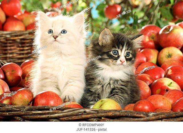 Siberian forest cat - two kittens in basket between apples