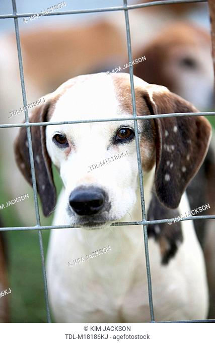 A fox hound in a cage