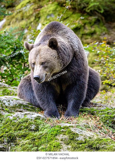 A brown bear in the forest. Big Brown Bear. Bear sits on a rock. Ursus arctos