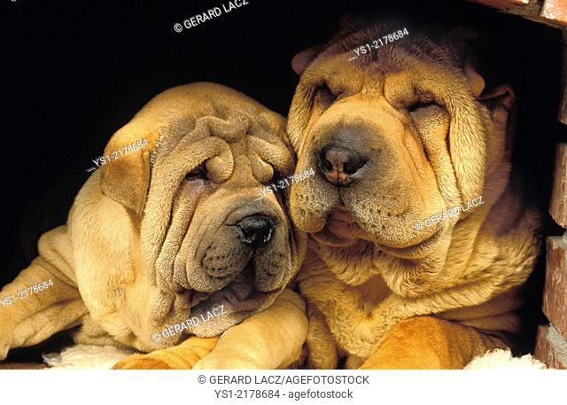Shar Pei Dog, Mother and Pup