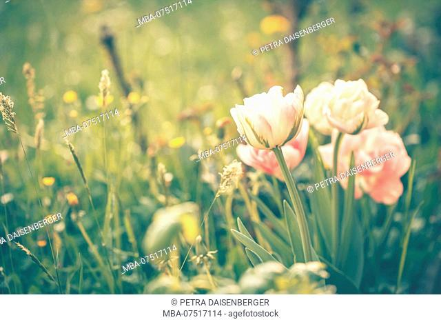 Flowers and blossoms, tulips, pink, filled