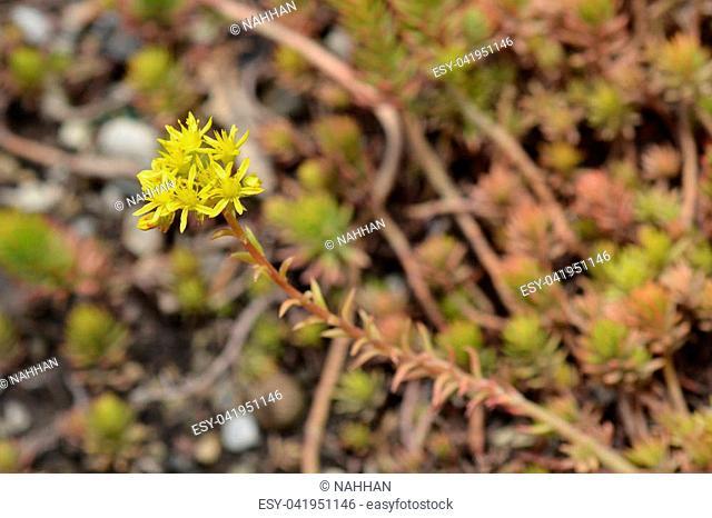 Close up of Angelina stonecrop yellow flower - Latin name - Sedum reflexum Angelina
