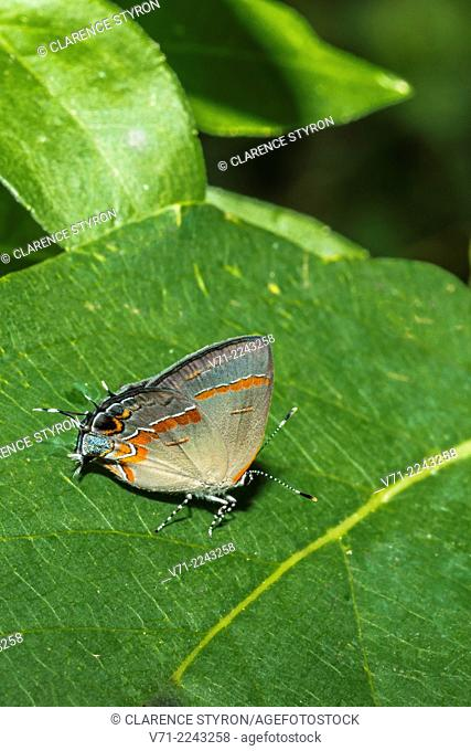 Red-banded Hairstreak Butteefly (Calycopis cecrops) on Persimmon ( Diospyros virginiana) Leaf