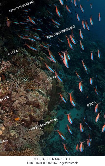 Bluestreak Fusilier Pterocaesio tile adults, shoal swimming in reef, Wetar Island, Barat Daya Islands, Lesser Sunda Islands, Maluku Province, Indonesia