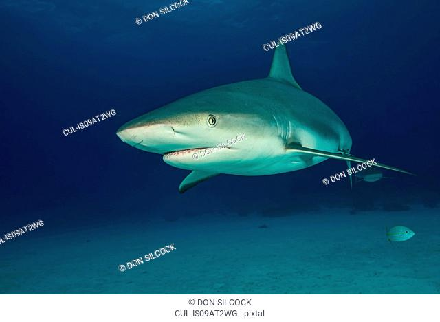 Underwater portrait of reef shark above seabed, Tiger Beach, Bahamas