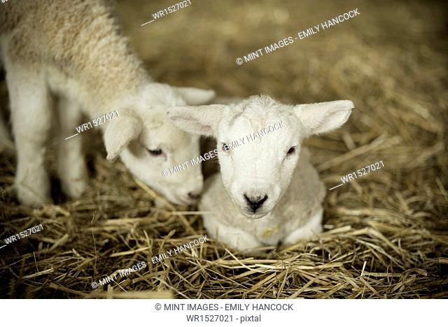 New-born lambs, two white lambs in a lambing shed