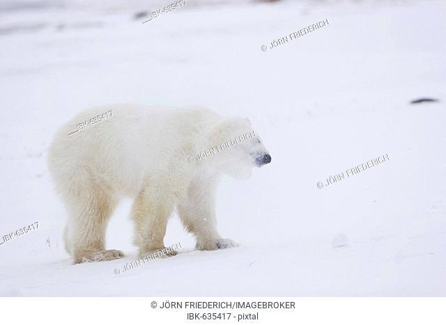 Polar Bear (Ursus maritimus) shaking snow from its head, Churchill, Hudson's Bay, Manitoba, Canada