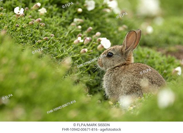 European Rabbit Oryctolagus cuniculus young, sitting amongst Sea Campion Silene maritima flowers on clifftop, Pembrokeshire, Wales, May