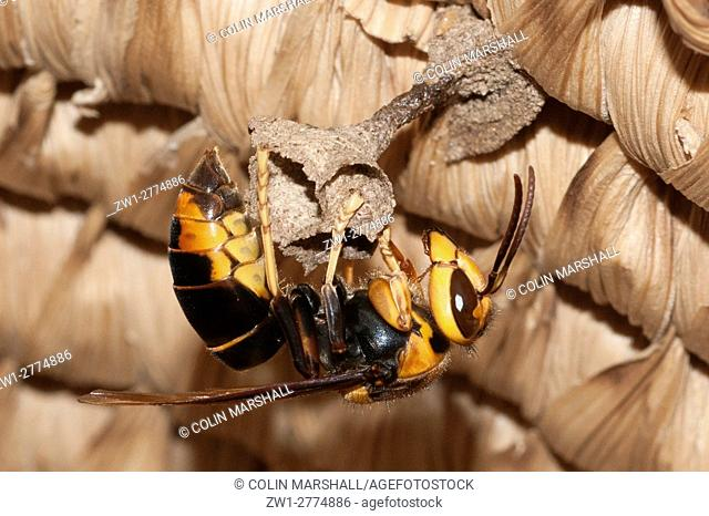 Wasp (Hymenoptera order, Apocrita sub-order), building nest in basket, Klungkung, Bali, Indonesia