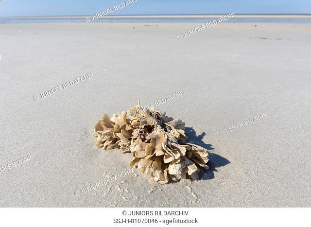 Flustra foliacea. Colony of animal, often mistaken for a seaweed, on tidal mudflat. Schleswig-Holstein Wadden Sea National Park, Germany