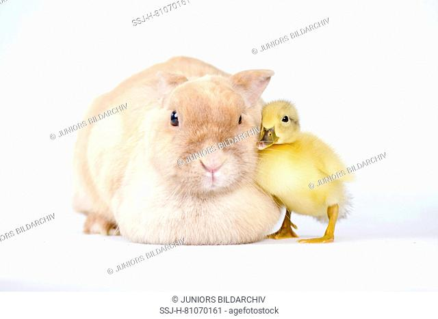Domestic Duck, Muscovy Duck. Duckling (1 week old) cuddling up to adult bunny. Studio picture, seen against a white background. Germany