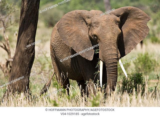 Male african elephant (Loxodonta africana) in Tarangire National Park, Tanzania, Africa