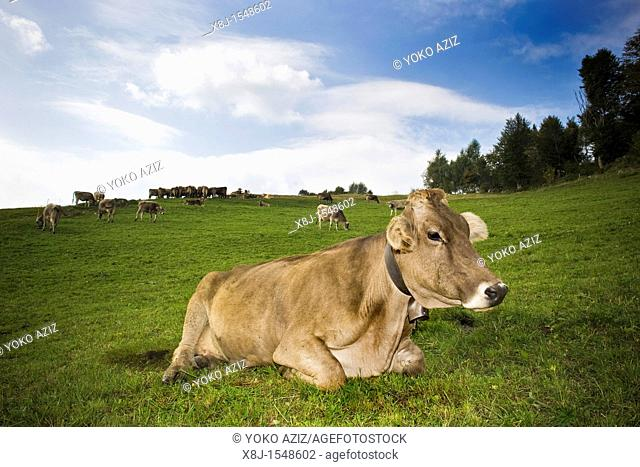 Cow in pasture, Taleggio valley, Lombardy, Italy