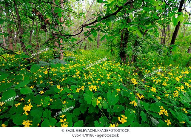 greater celandine in wood