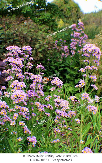 A cluster of purple asters with a Monarch Butterfly clinging to the flowers in a wildflower garden setting