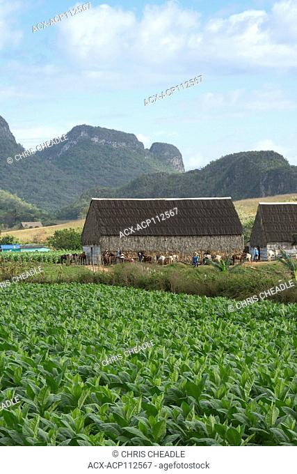 Tobacco fields, Vinales, Cuba